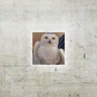 Logo of the podcast Episode 75: Snowy Owl Invasion with Scott Weidensaul