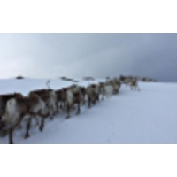 Logo of the podcast Watch these majestic reindeer in Norway make their summer migration