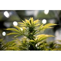 Logo du podcast Roubaix : il fait pousser du cannabis devant le palais de justice