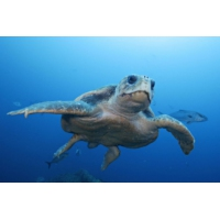 Logo du podcast Une vidéo à 360° pour sensibiliser à la sauvegarde des tortues marines