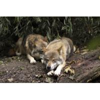Logo of the podcast Reporterre sur France Inter: la survie des loups en France n'est pas certaine
