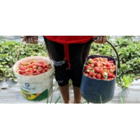 Logo du podcast Le coût humain des fraises espagnoles
