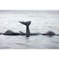 Logo du podcast Climat : en Arctique, phoques et baleines changent leur alimentation