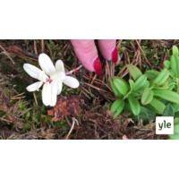 Logo of the podcast Luontoilta: Löysin albiinopuolukan - miten yleisiä albiinolöydökset kasveissa ovat?