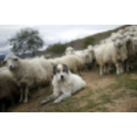 Logo du podcast Hero sheepdogs protect flock for 20 days in a Canadian wildfire