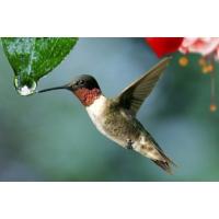 Logo of the podcast Radio Bambou: Le colibri qui sauva le pays des oiseaux